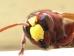 Oryantal Eşek Arıları