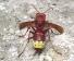 Ülkemizde de görülen oryantal eşek arıları