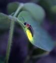 ateş böceği LED Teknolojisi