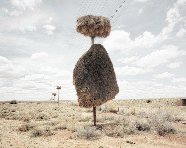 Güney Afrika da yaygın olarak bulunan dokumacı kuşlar, telefon direklerinin üstlerine ağaç dalları ve otlar getirerek yuvalarını yaparlar