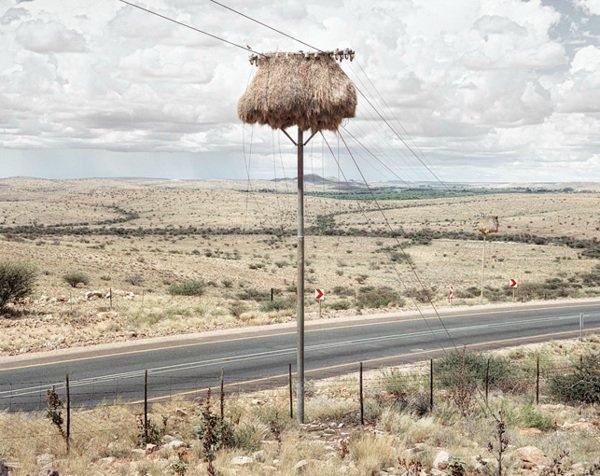 Bazen yuvanın girişine yırtıcıları caydırmak için keskin sopalar kuşlar tarafından yerleştiriliyor.