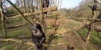 Şempanze Drone'a Karşı!